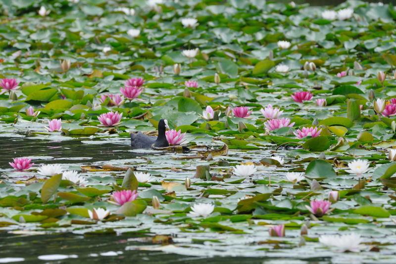 DSC_6319-240624見沼自然公園オオバン-B