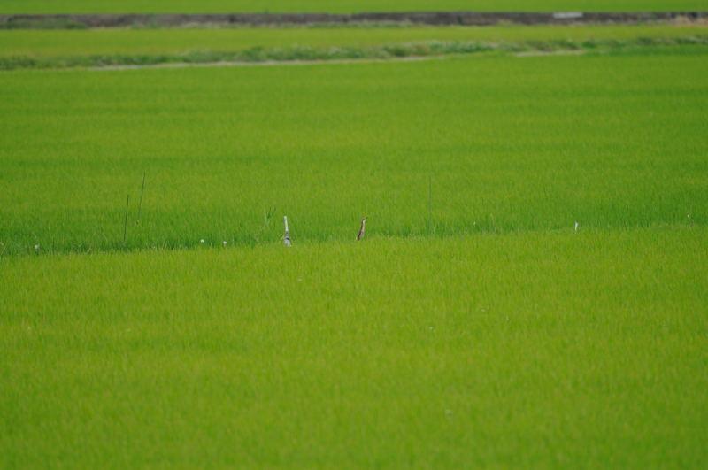 DSC_7528-240701北印旛オオヨシゴイ-B