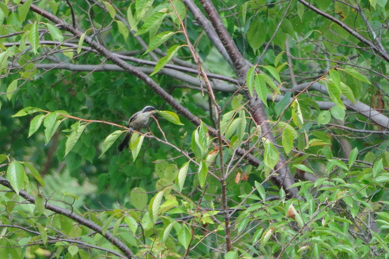DSC_3214-240926東京港野鳥公園タカサゴモズ-B