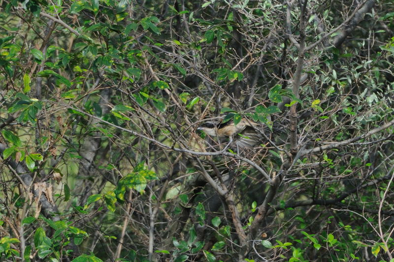 DSC_3449-240926東京港野鳥公園タカサゴモズ-B