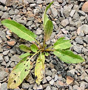春スイバのロゼット葉