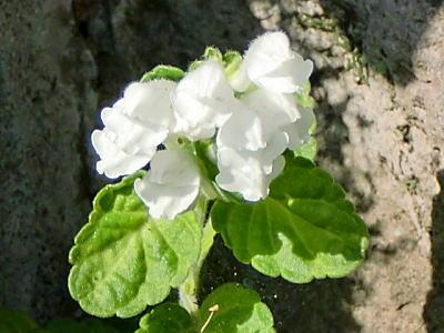 シロバナコバノタツナミの花