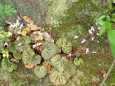 ユキノシタの匍匐枝
