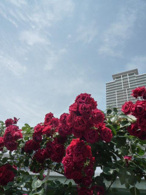 真っ赤な薔薇P1080189