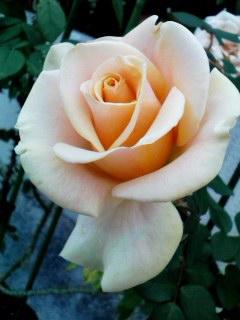 rose22nov2011.jpg