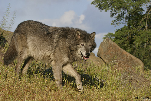 wolfse