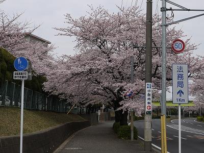 110410桜2