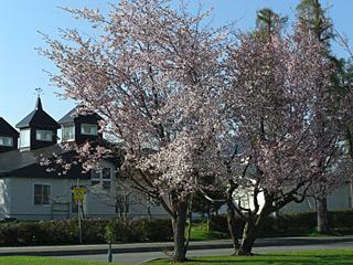 11 5/17 100年記念公園の桜