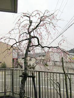 今年も公民館ふれあい桜が咲き始めました。