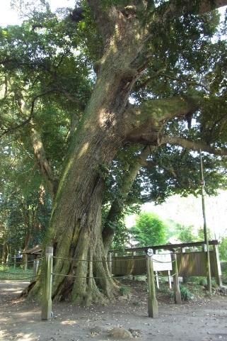 スダジイの巨木
