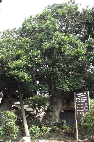 黄門様が植樹したモチの木
