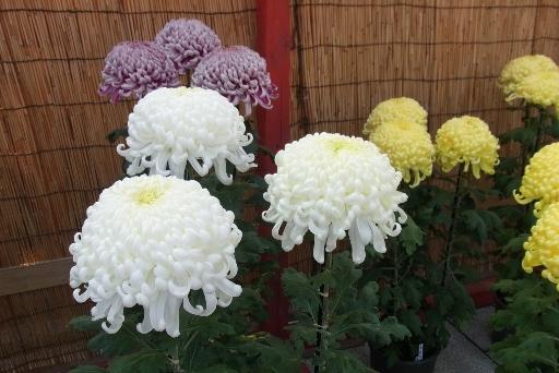 綺麗な菊の花