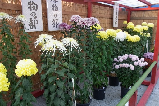 境内の菊花展