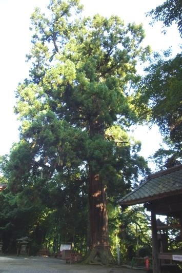 小山寺の大杉