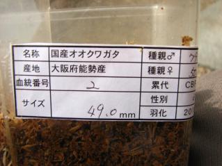♀ 49ミリ(masuko)