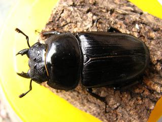 ♀ 50,3ミリ(bino)