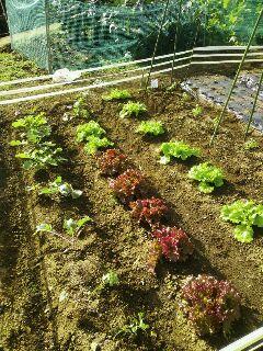 11月30日野菜畑
