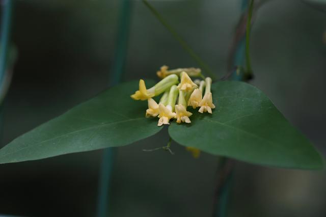 ノササゲ(野大角豆)