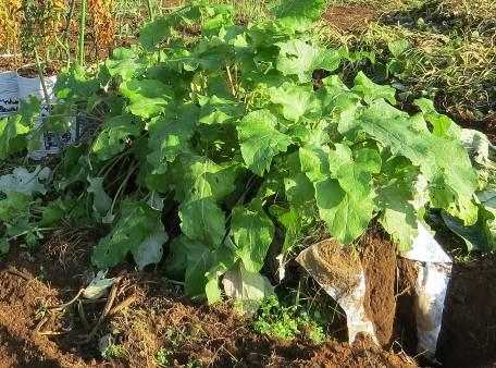 ゴボウの袋栽培11月の様子