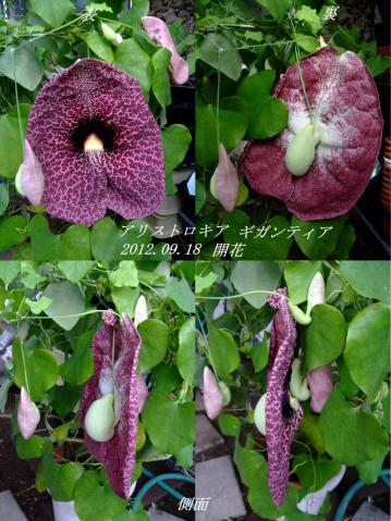 アリストロキア(ウマノスズクサ科) ギガンティア(Aristolochia gigantea)あっという間に袋が大きく膨らみ開花しました~2012.09.18