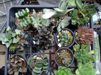 ハオルチア・ガステリアなど植えっぱなしで4年ほど経ってしまいました(´ヘ`;)植え替えます♪2012.11.09