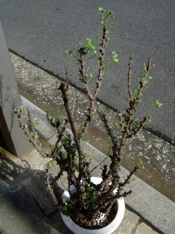 オキザリス ギガンティア(Oxalidaceae Oxalis gigantea) 新芽吹き始めると早いです~♪2012.11.12