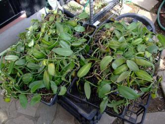 ラン科 バニラ(Vanilla planifolia)たまに掘り出し物の出るお馴染み園芸店さんで発見~2012.11.25