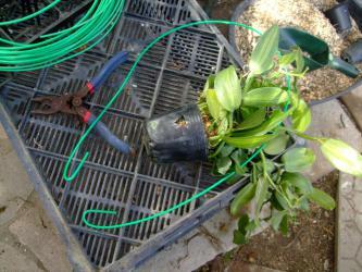 ラン科 バニラ(Vanilla planifolia)ミズゴケで仕立て直し簡単に針金で挿して逆さに吊ってみます♪2012.11.25