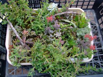 多肉植物いろいろ挿し木苗~2ヶ月後~セロペギア、葉物メセン、セダム ヒントニー、重扇など~♪雨が降って多肉の湖に~♪2012.11.28