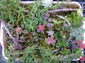 多肉植物いろいろ挿し木苗~2ヶ月後~セロペギア、葉物メセン、セダム ヒントニー、重扇など~♪2012.11.28