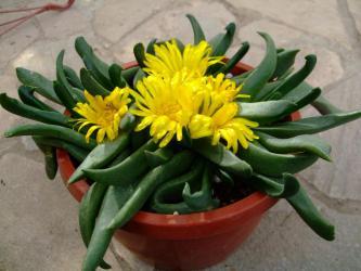 グロッチフィルム(Glottiphyllum sp.)径18cm鉢植え~大きい真っ黄色花が咲いています♪2012.12.02