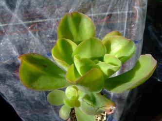 エケベリア パリダ(Echeveria pallida)和名:霜の鶴(しものつる)原産地:メキシコ チアパス州~寒さに弱い・・・2012.12.10の寒波に当たり水っぽくなりました・・・葉が軽く凍っ手しまった感じ~2012.12.11