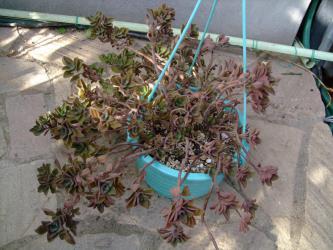 プレクトランサス ネオチラス~1階の屋外温室は根土がカラカラで助かっていました~2012.12.11