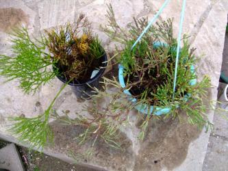 左:シダ植物~松葉蘭、右:壜葦サボテン ハチオラ 猿恋葦。なんだかソックリ~擬態植物?2012.02.02