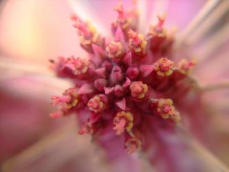 ユーフォルビア 白樺キリン(Euphorbia mammillaris cv.'Variegata')2012.02.08真冬真っ只中開花していました!