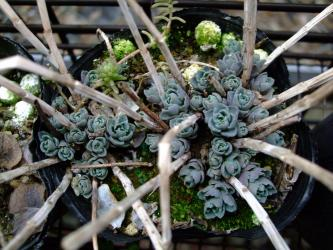 ヒロテレフィウム ミセバヤ(Hylotelephium sieboldii) もうこんなに芽吹いています!2012.02.23