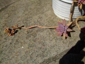 グラプトペタルム 愁麗(シュウレイ)(Graptopetalum sp. syu-rei )=グラプトセダム(Graptosedum 'Francesco Baldi' )長い花芽w~2012.02.25