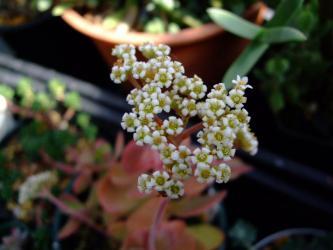 クラッスラ ワーテルメイエリー(Crassula atropurpurea var.watermeyeri)=(Crassula watermeyeri)?白い花が咲いています。2012.02.24
