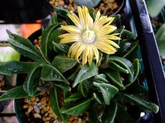 ナナンサス ウィルマニアエ(Nananthus Wilmaniae )再び開花!2012.02.27