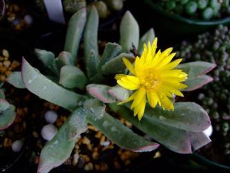 シュワンテシア トリブネリー(Schwantesia triebneri)?水やりしていたら咲き始めました!2012.02.27