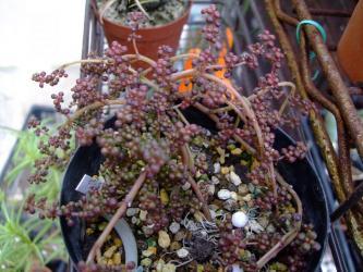 ピレア グロボーサ(露鏡)Pilea globosa~なんとか夏越で来た株~紅葉しています!2012.03.05