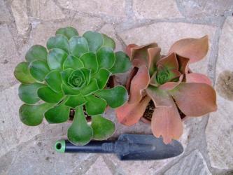 左:アエオニウム(holochrysum )(エル ・ イエロ島)Aeonium aff. holochrysum (El Hierro) Exclusive、右:アエオニウム属 鏡獅子(Aeonium nobile ) ~原産国:カナリア諸島、北アフリカ2012.03.11
