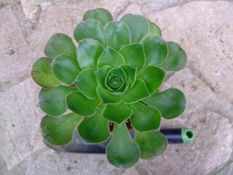 アエオニウム(holochrysum )(エル ・ イエロ島)Aeonium aff. holochrysum (El Hierro) Exclusive 2012.03.11