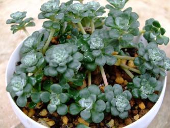 セダム スパスリフォリウム ケープブランコ(Sedum spathulifolium)白雪ミセバヤ 2012.03.12