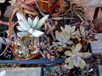 左側の茶色い鉢~アボニア アルストニー白花(Avonia quinaria ssp. alstonii) 生きているみたいです!2012.03.25