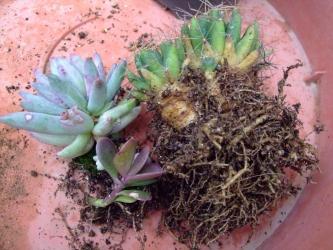 サボテンと多肉の植え替え~サボテン金星の根っこは塊根のように太っています!2012.03.21
