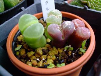 オフタルモフィルム 目玉の葉(Ophthalmophyllum)と正体不明のこぼれ種発芽。キノコは生えっぱなしと言う訳にはいかないので抜きました!2012.03.18
