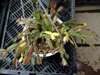 蟹葉サボテン シュルンベルゲラ ルッセリアナ(Schlumbergera russeliana)斑入り種~2012.04.01