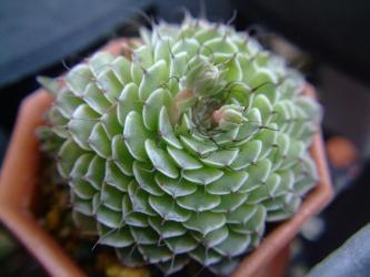 グラプトペタルム フィリフェラム(Graptopetalum filiferum)菊日和(きくびより)・黒奴(くろやっこ)2012.03.29
