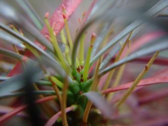 ユーフォルビア ムルチフォリア (Euphorbia multifolia)に花芽?花?ブルーの葉っぱが鮮やかに紅葉しています!2012.03.26